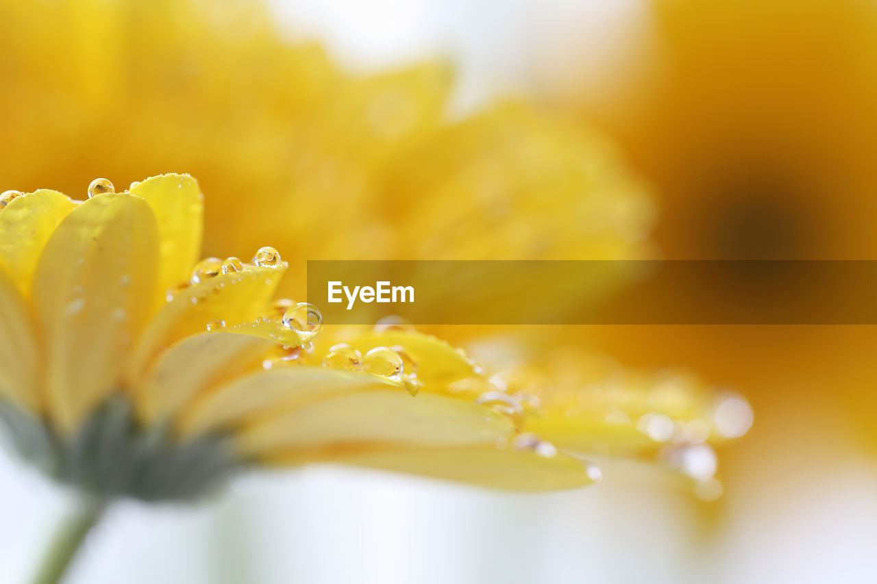 flower, flowering plant, freshness, yellow, selective focus, close-up, plant, petal, beauty in nature, fragility, vulnerability, flower head, growth, inflorescence, no people, drop, nature, wet, pollen, dew