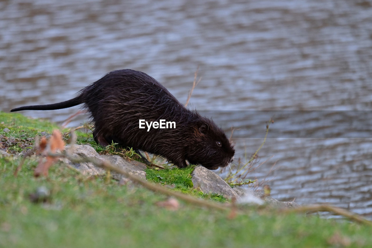 animal, animal themes, one animal, mammal, animal wildlife, vertebrate, animals in the wild, selective focus, no people, day, nature, rodent, lake, plant, water, outdoors, land, side view, black color