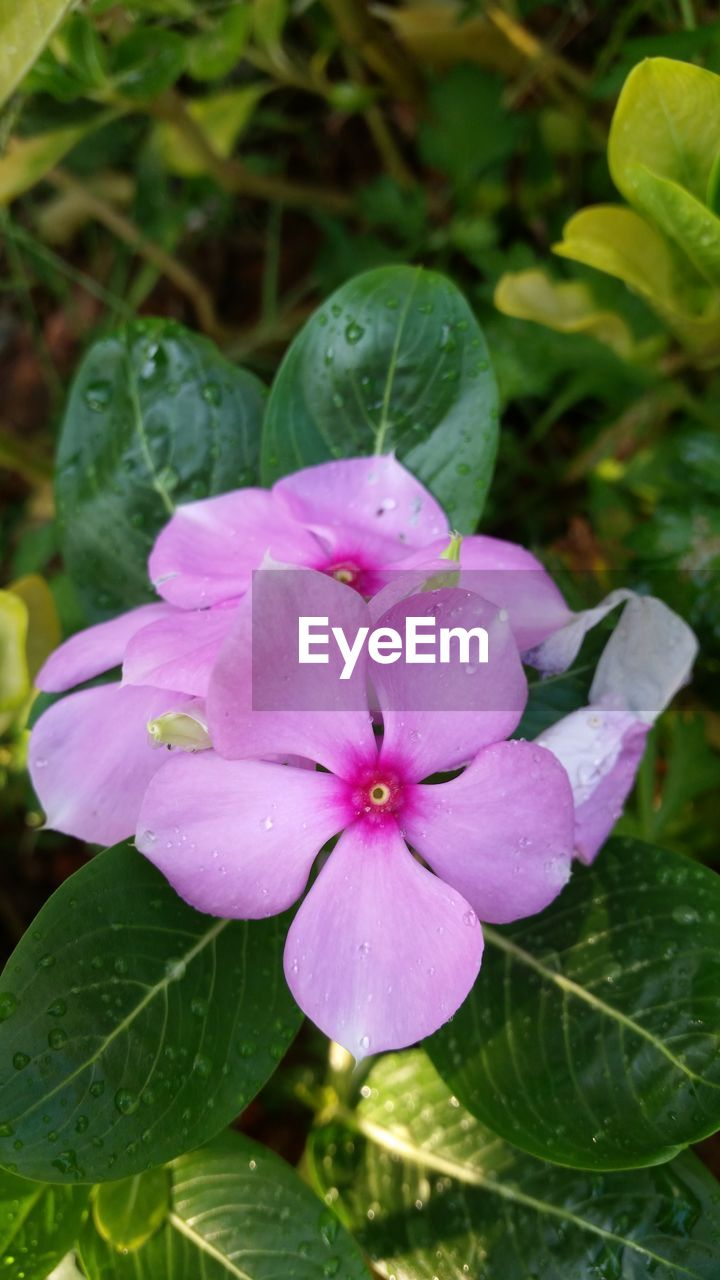 petal, flower, fragility, beauty in nature, growth, freshness, drop, water, flower head, plant, nature, wet, leaf, no people, close-up, green color, periwinkle, day, pink color, outdoors, blooming