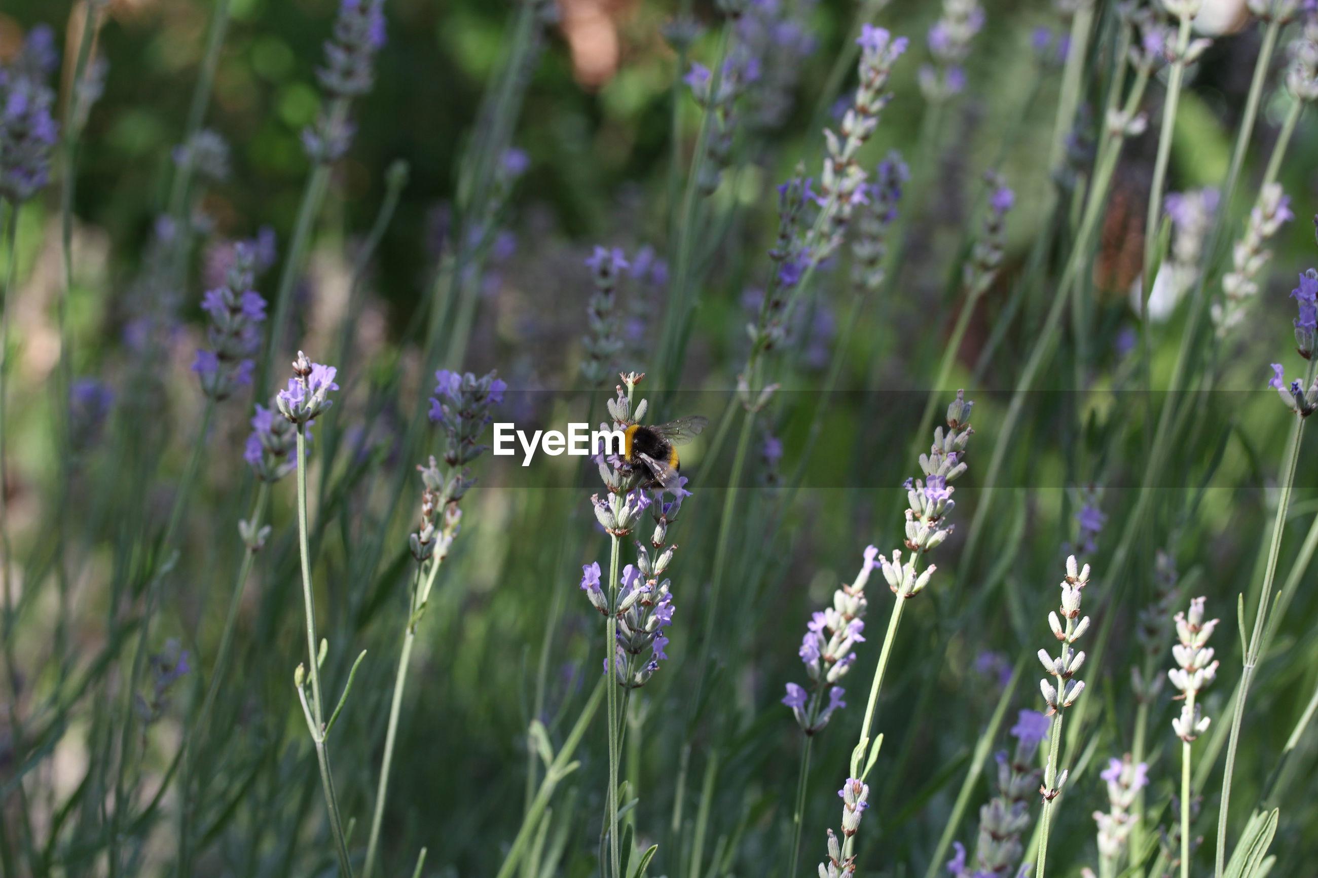 Bee pollinating on purple flowering plant
