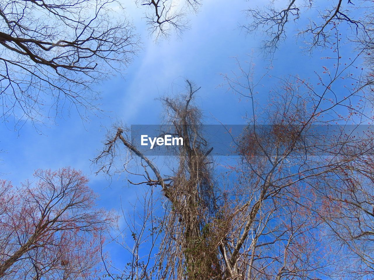 tree, plant, sky, branch, bare tree, low angle view, tranquility, no people, nature, day, beauty in nature, blue, tranquil scene, outdoors, scenics - nature, growth, autumn, cloud - sky, non-urban scene, dead plant, tree canopy