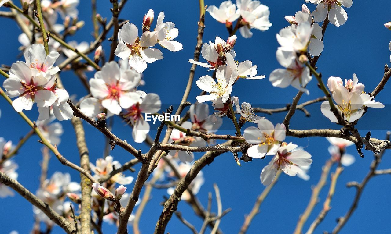 flower, fragility, white color, beauty in nature, branch, tree, blossom, growth, freshness, springtime, apple blossom, petal, apple tree, nature, twig, botany, orchard, almond tree, no people, flower head, day, magnolia, stamen, low angle view, close-up, plum blossom, pollen, blooming, outdoors, clear sky, sky