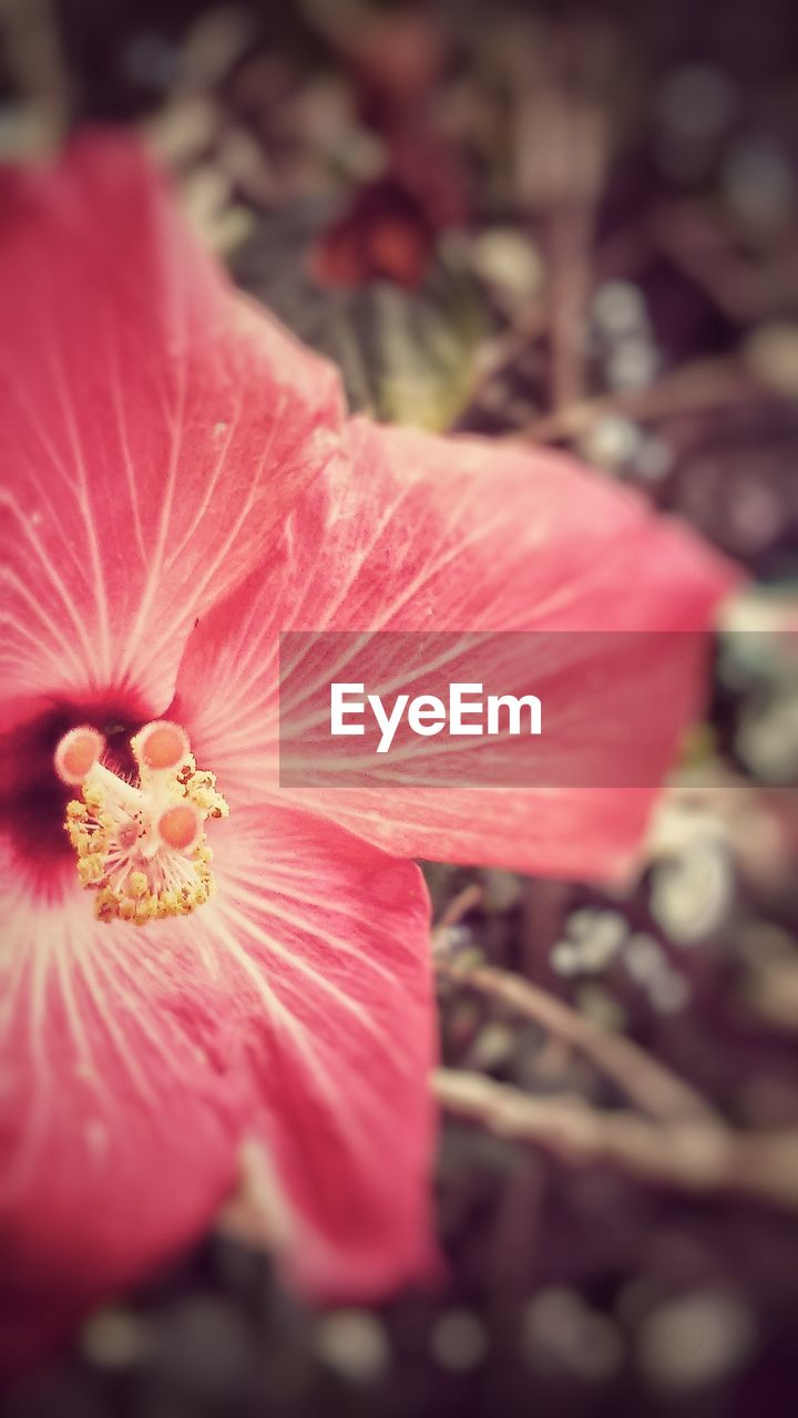flower, petal, fragility, flower head, beauty in nature, nature, selective focus, close-up, growth, pink color, stamen, freshness, pollen, hibiscus, outdoors, day, no people, plant, blooming