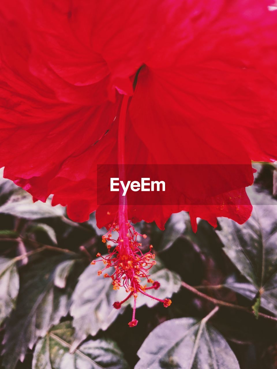 flower, red, fragility, petal, beauty in nature, nature, growth, flower head, freshness, botany, springtime, blossom, stamen, hibiscus, close-up, plant, pollen, outdoors, no people, day, blooming, poppy, water