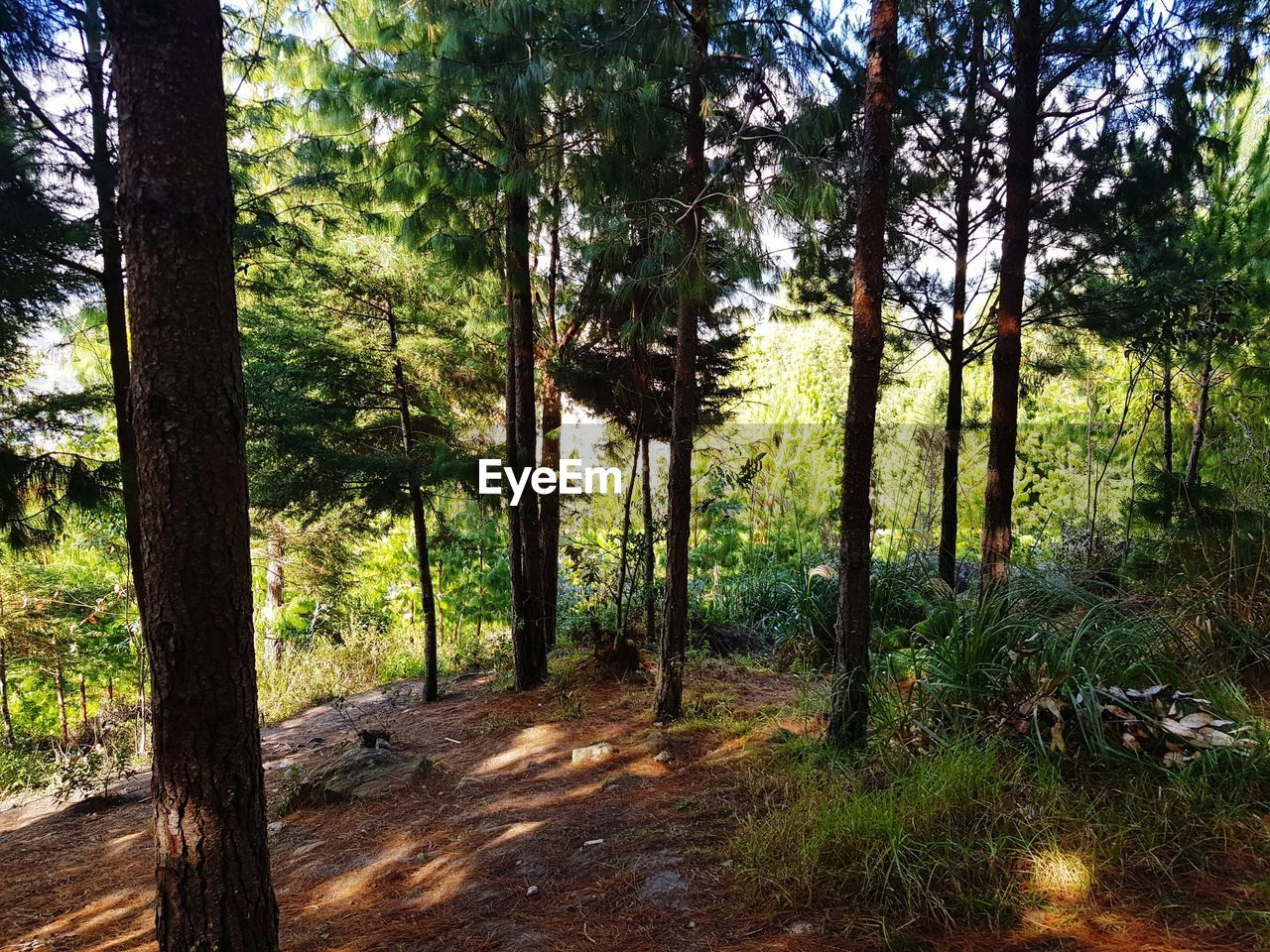 tree, plant, forest, land, tree trunk, trunk, growth, nature, beauty in nature, tranquility, no people, woodland, environment, day, tranquil scene, scenics - nature, landscape, non-urban scene, sunlight, green color, outdoors, pine tree, pine woodland