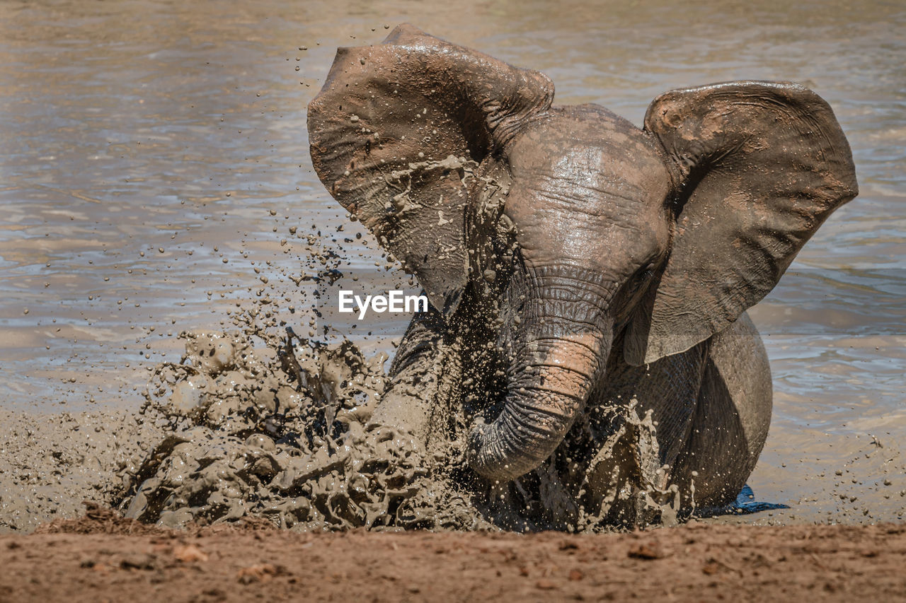 VIEW OF ELEPHANT DRINKING WATER FROM A RIVER
