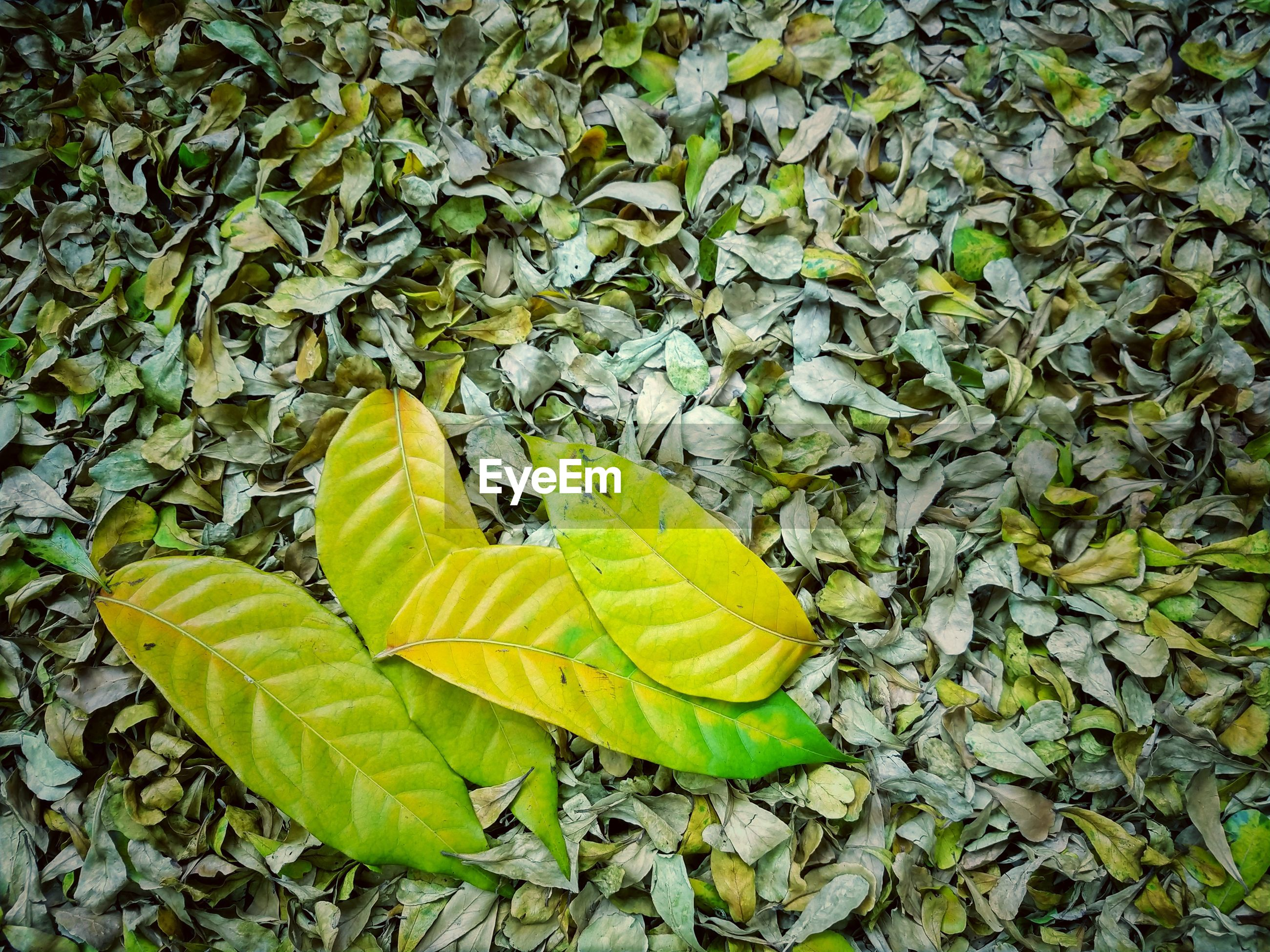 High angle view of yellow leaves on field
