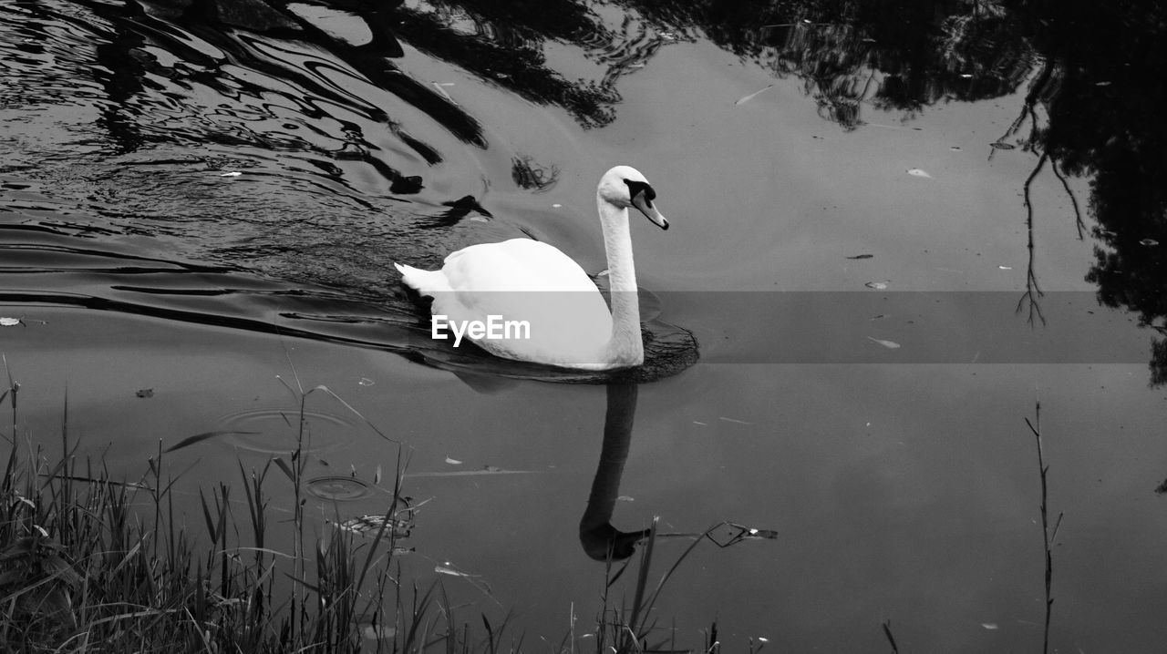 water, animals in the wild, lake, animal themes, vertebrate, animal, animal wildlife, bird, swimming, swan, one animal, water bird, nature, reflection, no people, day, zoology, waterfront, high angle view, outdoors, cygnet, floating on water, freshwater bird, animal family