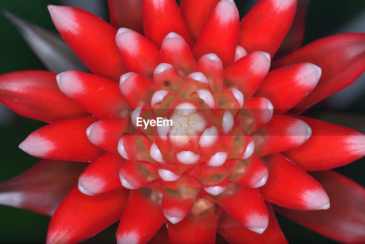 flower, red, beauty in nature, petal, nature, growth, flower head, fragility, plant, freshness, close-up, day, outdoors, no people