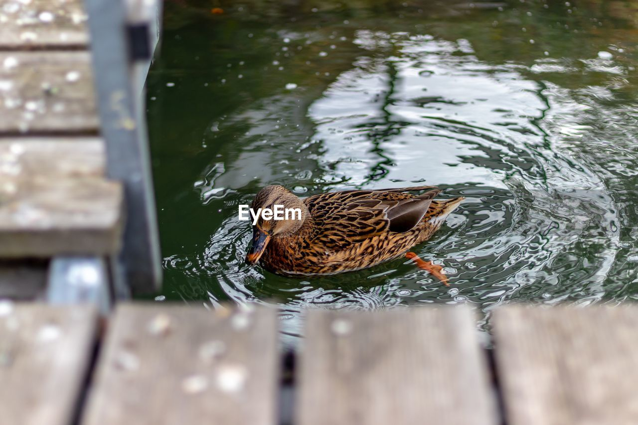 animal themes, water, animal, bird, animal wildlife, animals in the wild, one animal, vertebrate, lake, duck, swimming, poultry, day, no people, nature, mallard duck, high angle view, water bird, outdoors