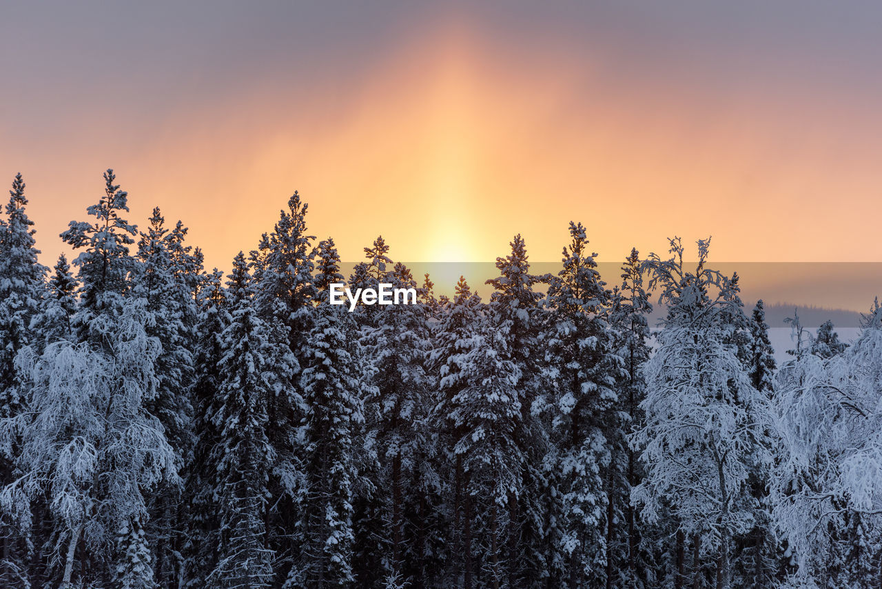 Snow covered pine trees against sky during sunset