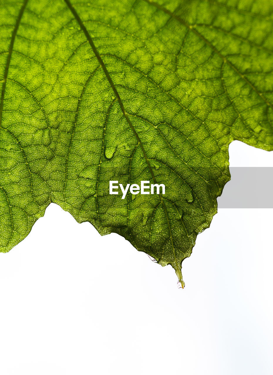 plant part, leaf, green color, plant, growth, close-up, nature, leaf vein, no people, day, beauty in nature, outdoors, natural pattern, tree, sky, freshness, botany, leaves, pattern, low angle view, maple leaf