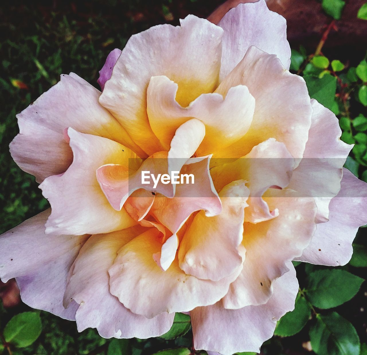 High angle view of pink rose blooming outdoors
