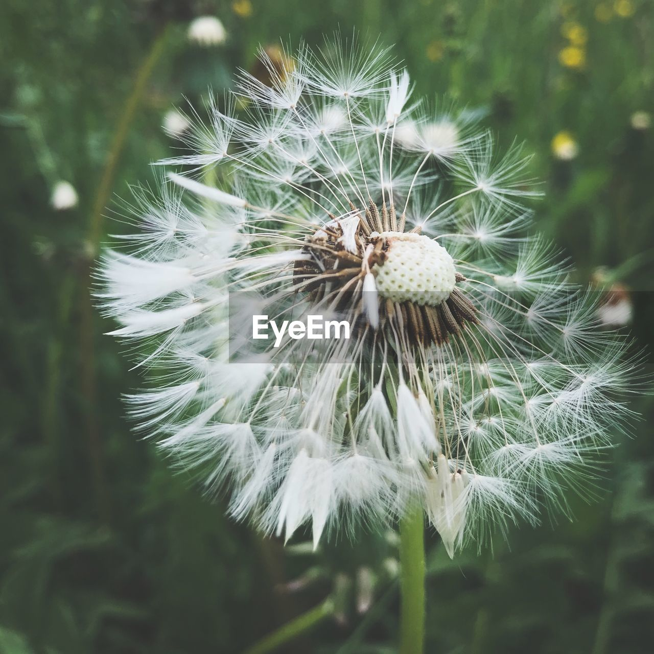 flower, plant, flowering plant, fragility, vulnerability, dandelion, close-up, freshness, beauty in nature, growth, focus on foreground, no people, flower head, inflorescence, nature, softness, day, dandelion seed, white color, land, outdoors