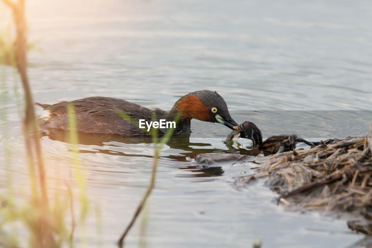 Close-Up Of Ducks Swimming On Lake