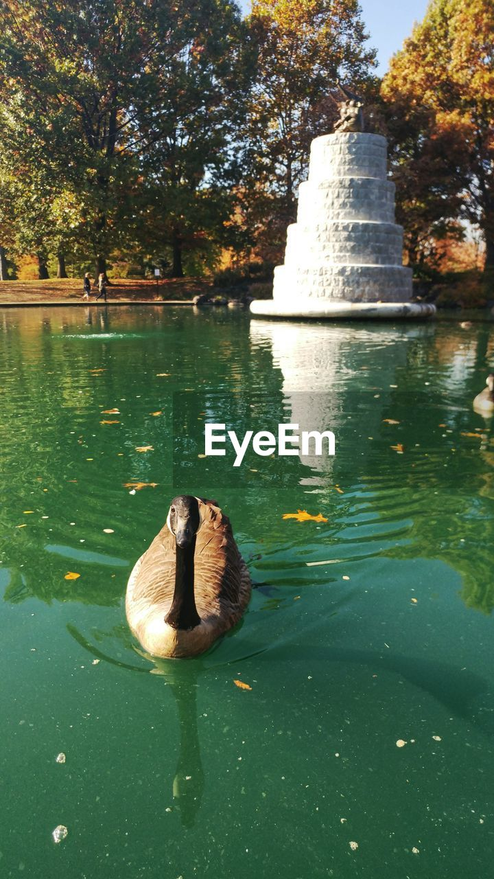 water, reflection, animals in the wild, animal themes, one animal, nature, day, lake, swimming, animal wildlife, no people, tree, outdoors, bird, swan, beauty in nature, close-up
