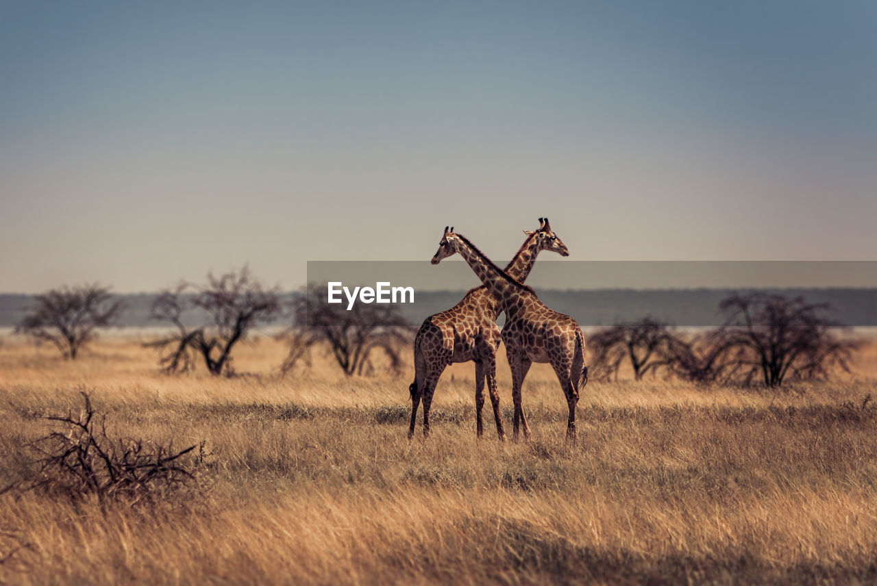 Scenic View Of Two Giraffes Against Savannah