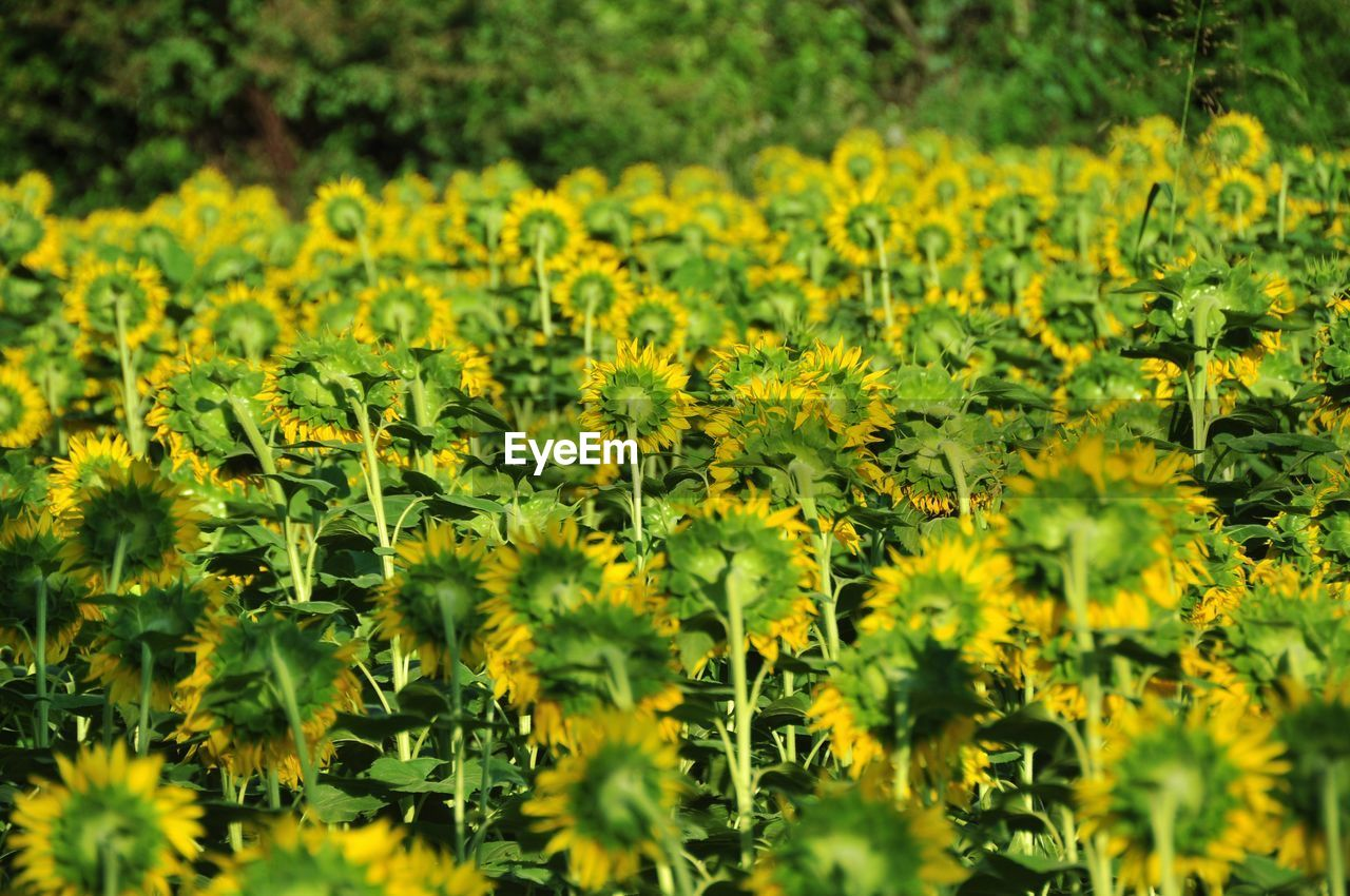 yellow, plant, beauty in nature, flower, growth, flowering plant, freshness, field, selective focus, fragility, vulnerability, no people, nature, land, green color, day, abundance, tranquility, outdoors, landscape, flower head