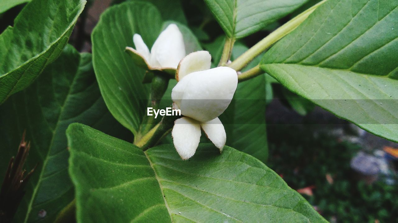 leaf, growth, nature, beauty in nature, green color, plant, fragility, freshness, petal, flower, white color, day, flower head, outdoors, close-up, no people, blooming