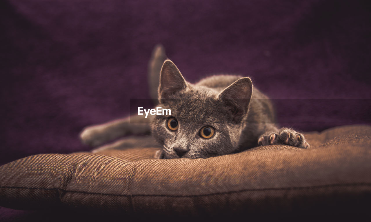 Close-up of cat resting on pet bed