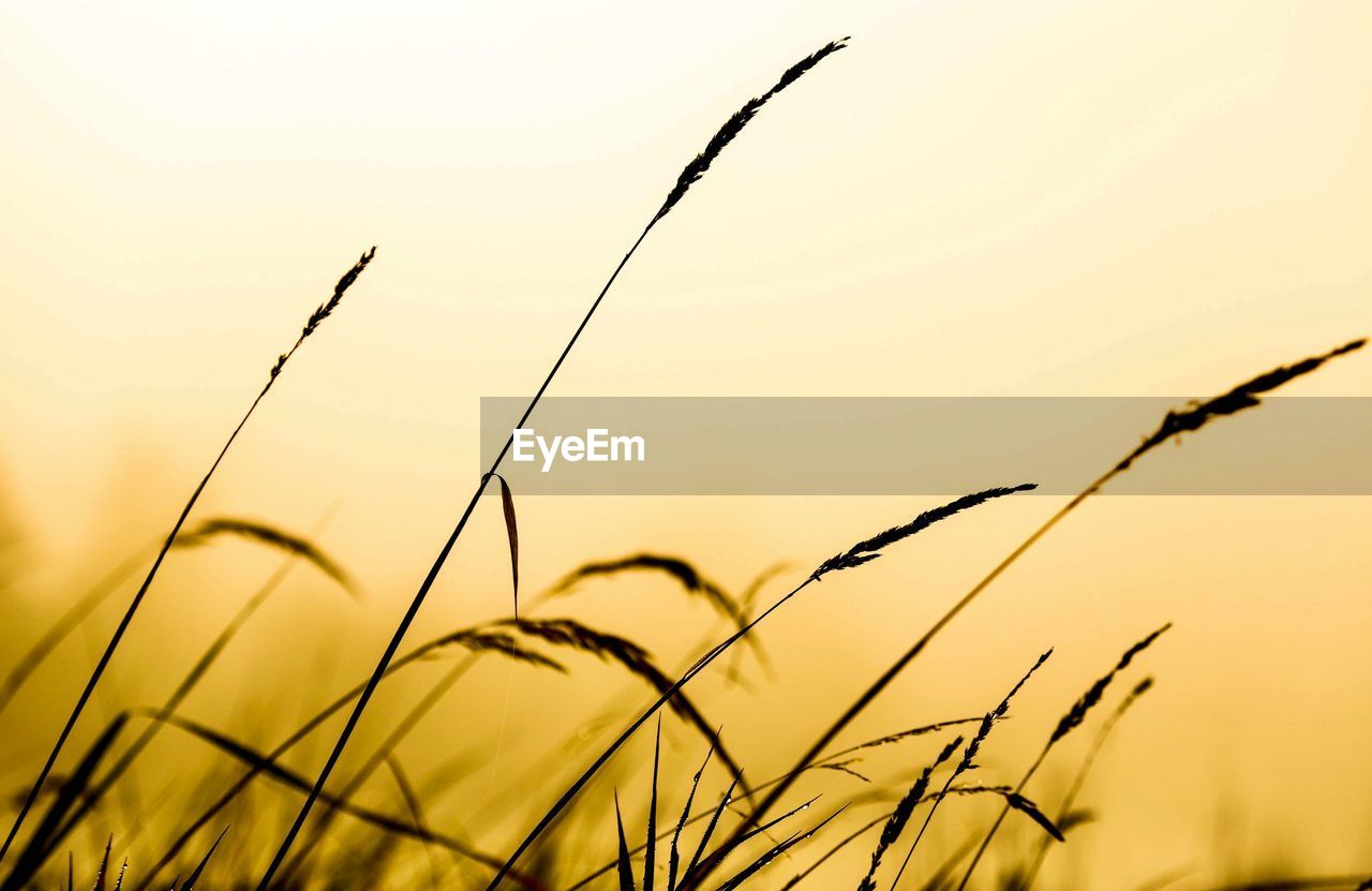 plant, sunset, growth, sky, beauty in nature, tranquility, nature, no people, focus on foreground, close-up, silhouette, field, grass, selective focus, scenics - nature, outdoors, orange color, tranquil scene, land, crop, stalk, timothy grass, blade of grass