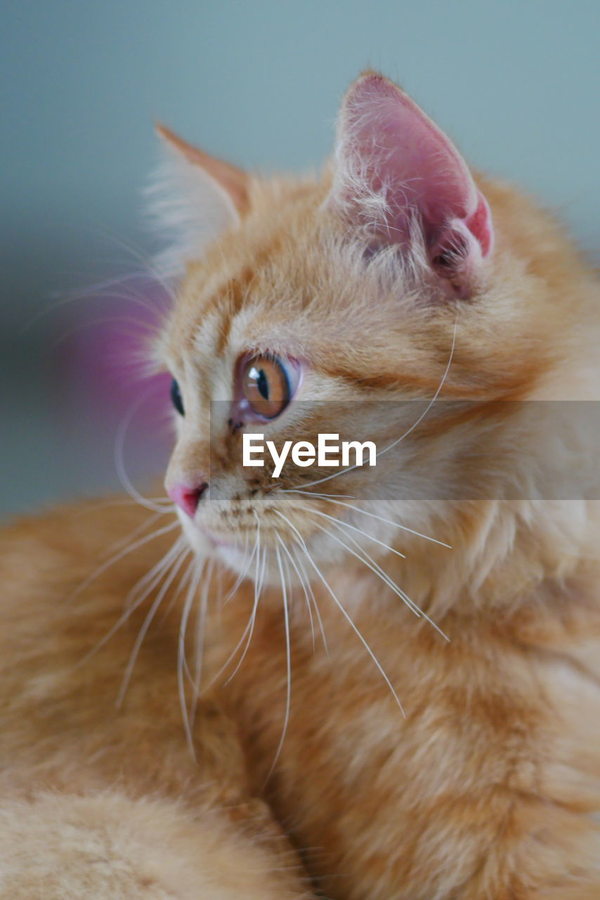 cat, domestic, domestic cat, feline, mammal, pets, domestic animals, animal themes, animal, one animal, vertebrate, whisker, close-up, animal body part, indoors, looking away, no people, looking, focus on foreground, animal head, ginger cat, animal eye