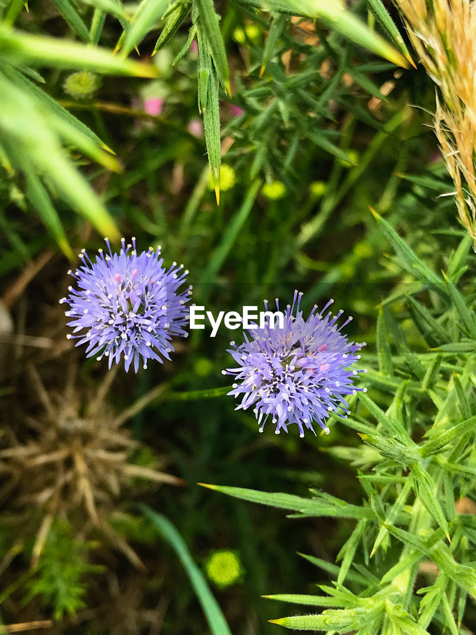 flowering plant, flower, plant, freshness, fragility, vulnerability, purple, beauty in nature, growth, flower head, petal, inflorescence, close-up, nature, green color, day, no people, botany, focus on foreground, field, blade of grass