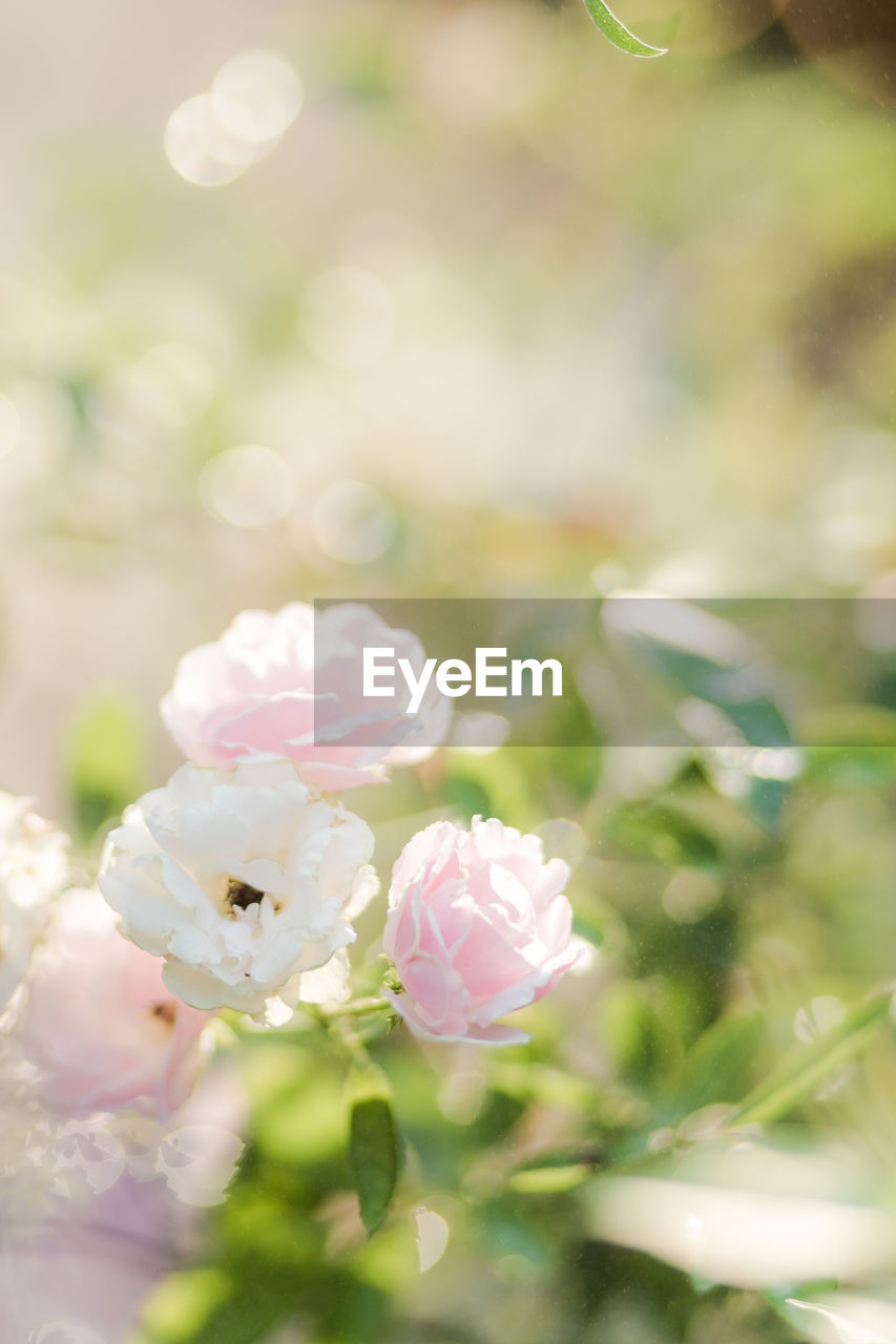 flowering plant, plant, flower, beauty in nature, freshness, vulnerability, fragility, close-up, nature, growth, petal, white color, pink color, day, flower head, no people, inflorescence, selective focus, focus on foreground, outdoors