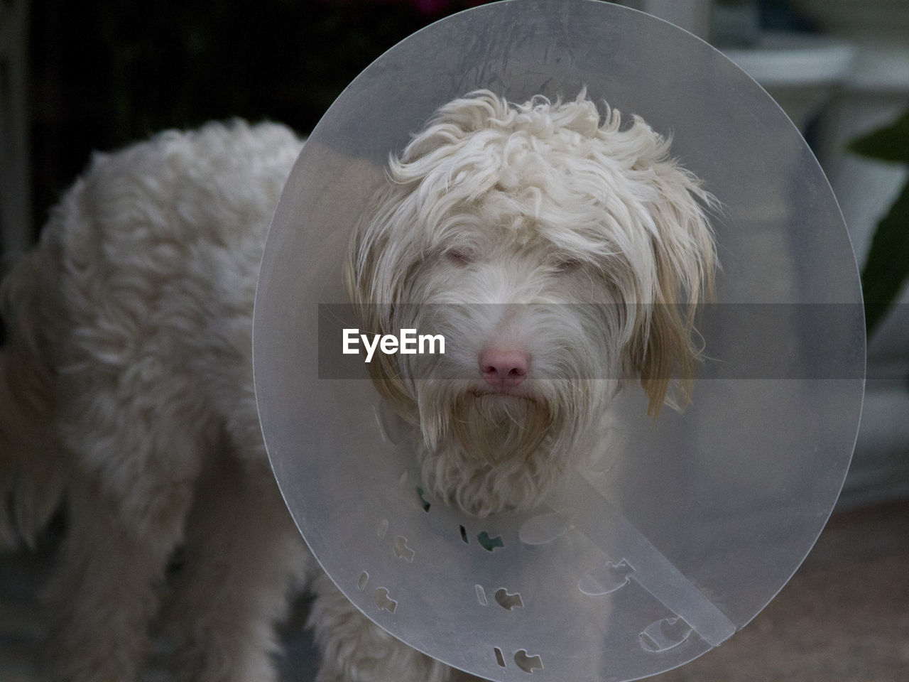 Close-Up Of Injured White Dog With Protective Collar