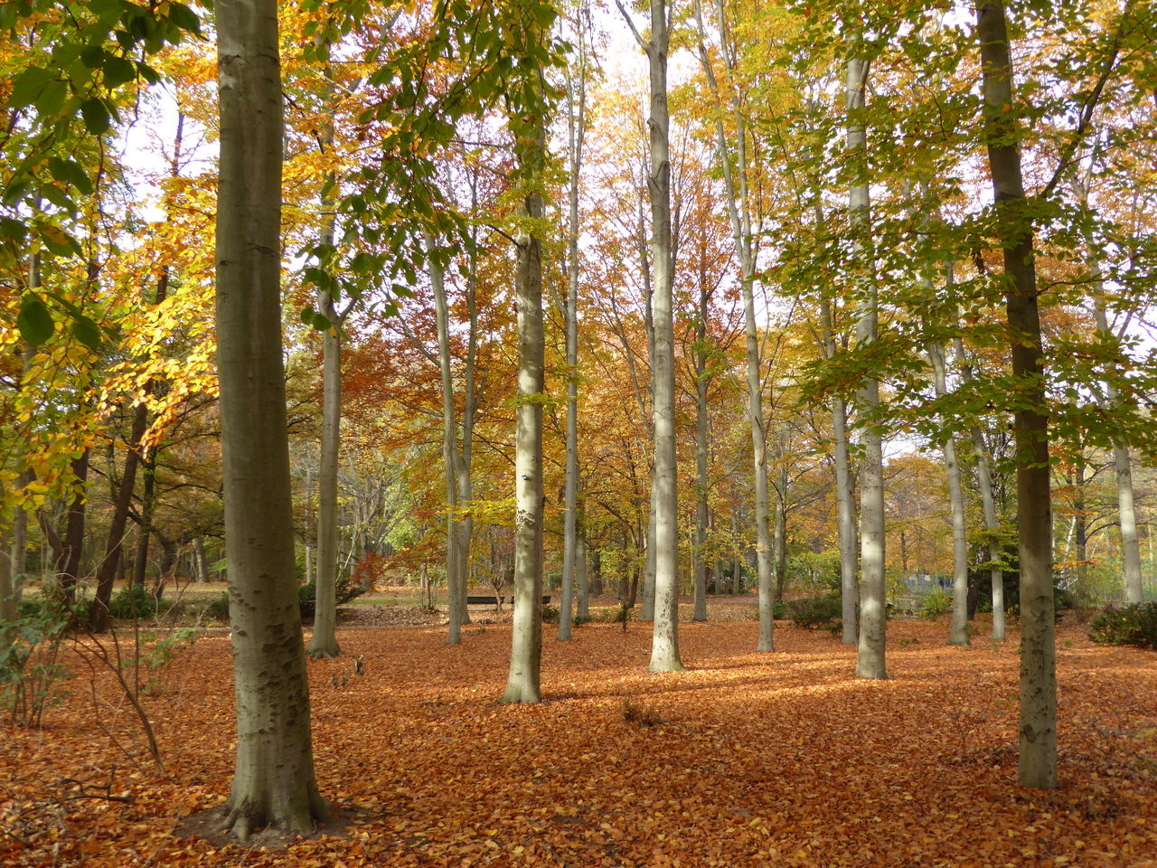 autumn, tree, leaf, forest, nature, woodland, change, scenics, outdoors, landscape, beauty in nature, day, tranquil scene, deciduous tree, no people, tree trunk, multi colored, branch, wilderness area