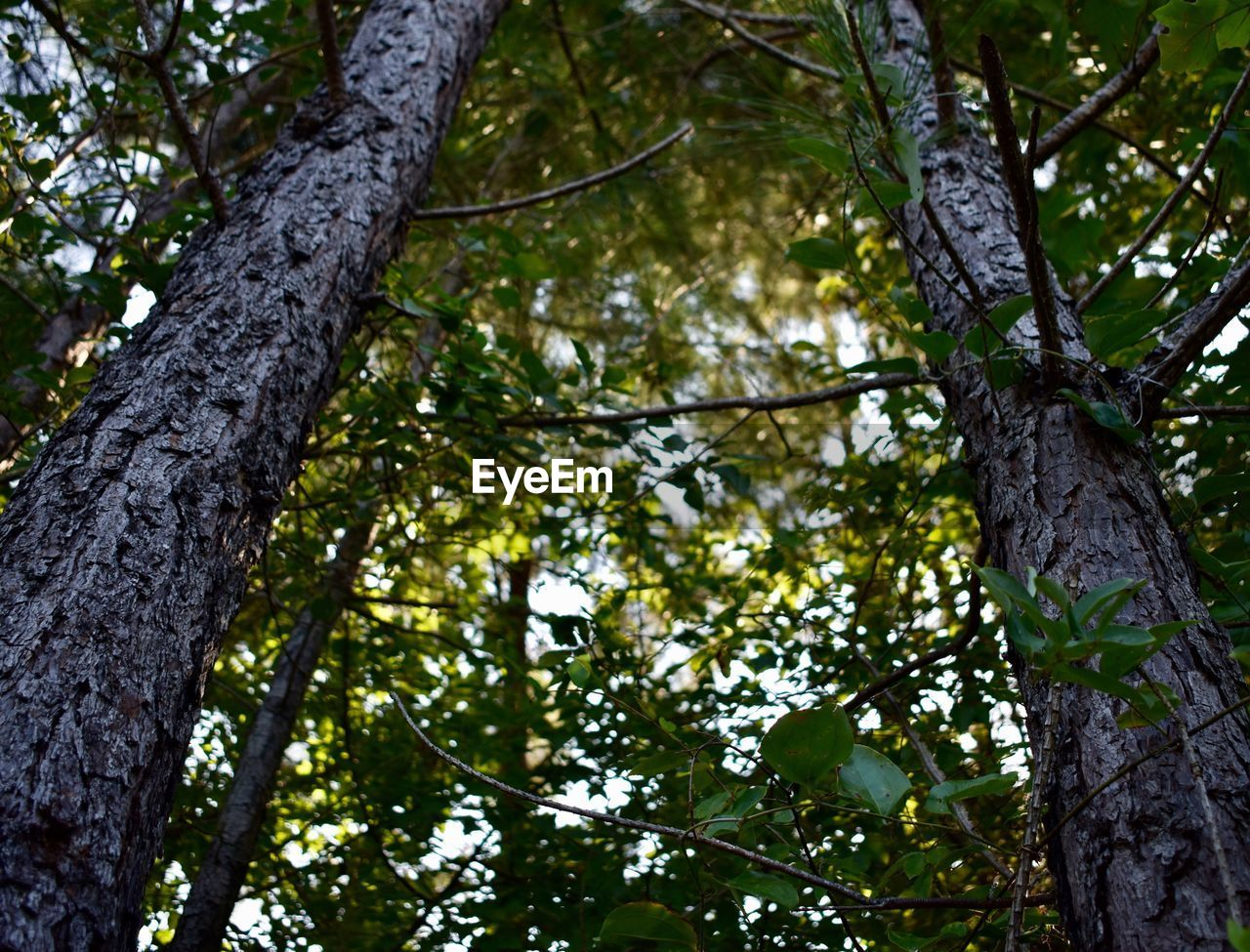 tree, tree trunk, low angle view, nature, forest, branch, outdoors, growth, day, no people, tree canopy, beauty in nature, green color, leaf, scenics, sky