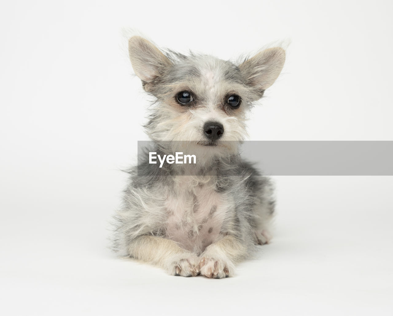 pets, studio shot, domestic, one animal, mammal, domestic animals, white background, animal themes, animal, canine, dog, looking at camera, indoors, portrait, vertebrate, no people, cute, cut out, sitting, young animal, small, chihuahua - dog