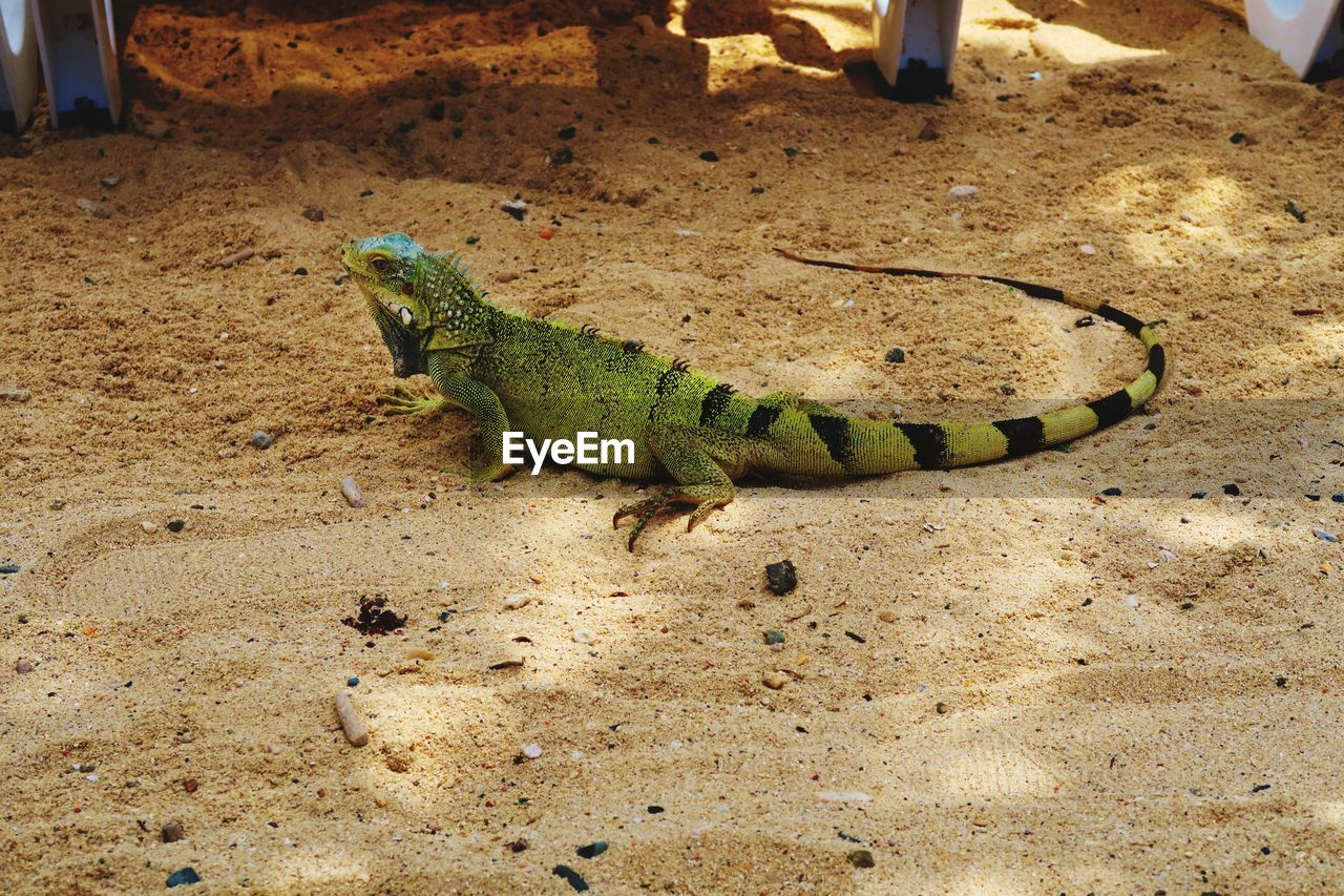 animal themes, animal, one animal, animal wildlife, animals in the wild, vertebrate, reptile, lizard, no people, green color, high angle view, day, close-up, nature, outdoors, land, focus on foreground, field, sand, zoology, animal scale, iguana