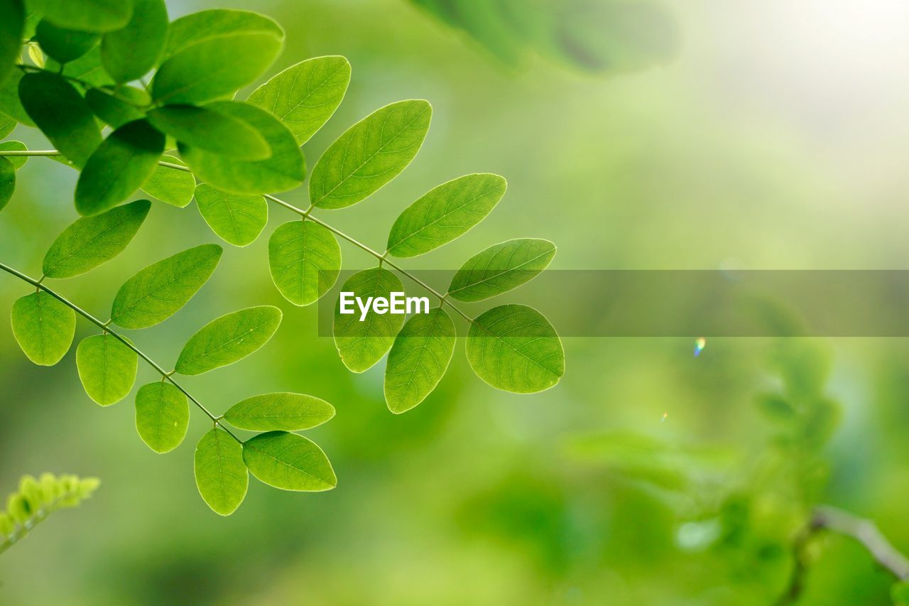 green color, leaf, plant part, growth, plant, close-up, nature, beauty in nature, no people, selective focus, day, freshness, outdoors, focus on foreground, tranquility, fragility, vulnerability, leaves, clover, tree