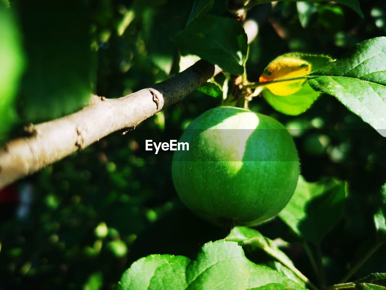 green color, plant part, leaf, growth, food, fruit, healthy eating, plant, freshness, food and drink, tree, nature, wellbeing, close-up, day, branch, fruit tree, beauty in nature, no people, focus on foreground, outdoors, ripe