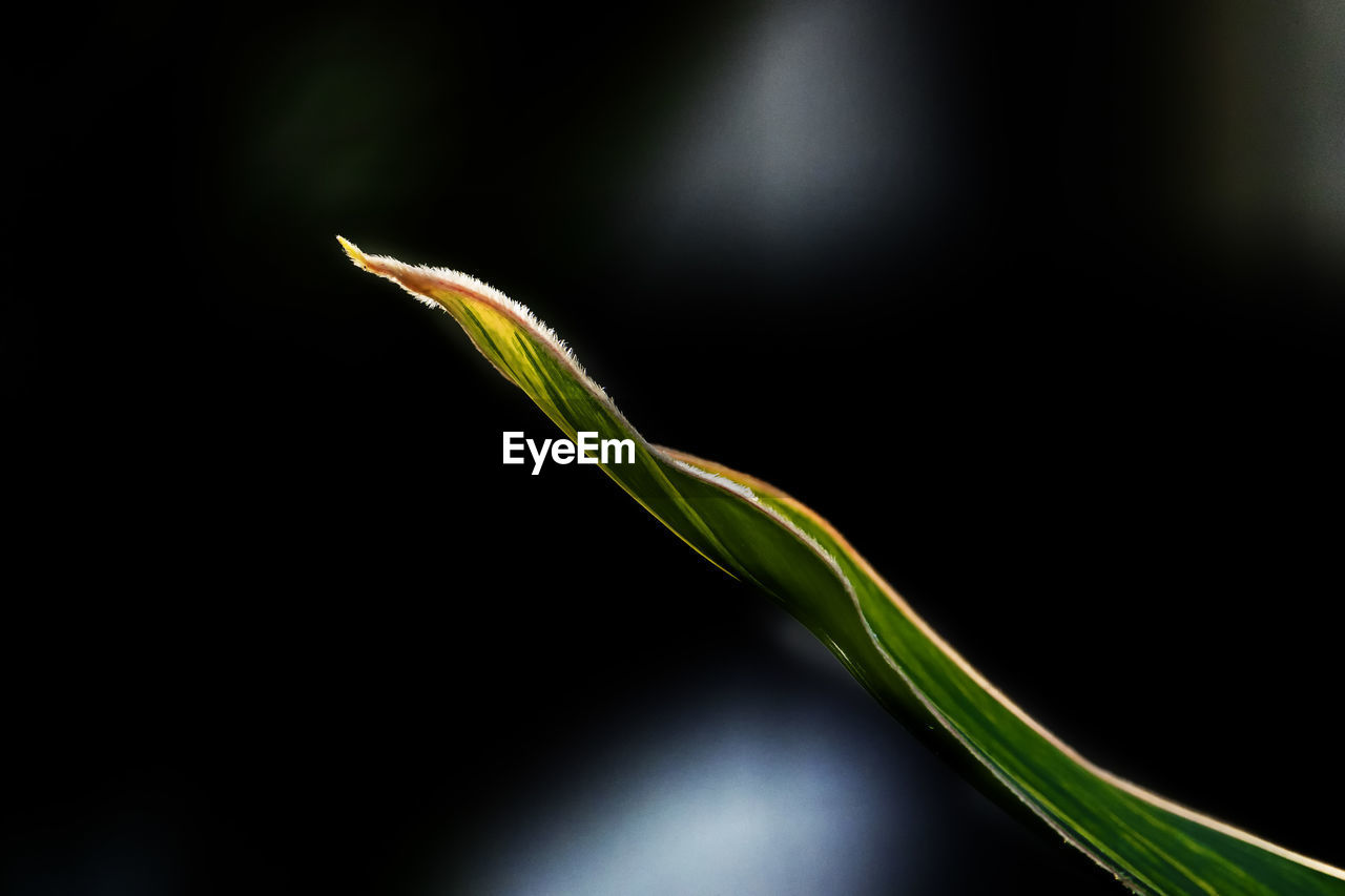plant, growth, beauty in nature, close-up, green color, no people, nature, vulnerability, fragility, selective focus, freshness, focus on foreground, beginnings, day, outdoors, tranquility, studio shot, black background, botany, plant part
