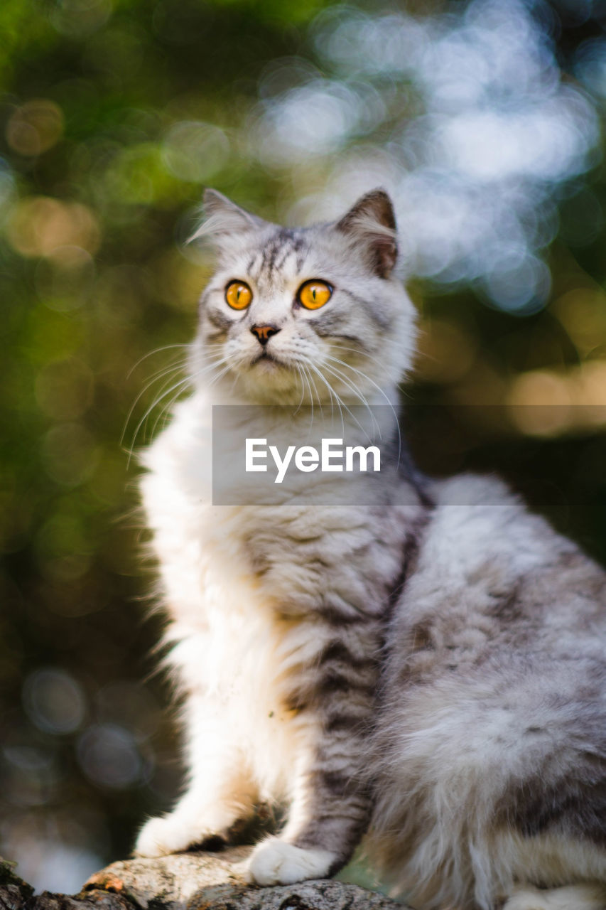 domestic cat, one animal, pets, animal themes, domestic animals, feline, mammal, whisker, portrait, looking at camera, focus on foreground, no people, sitting, day, outdoors, close-up, persian cat