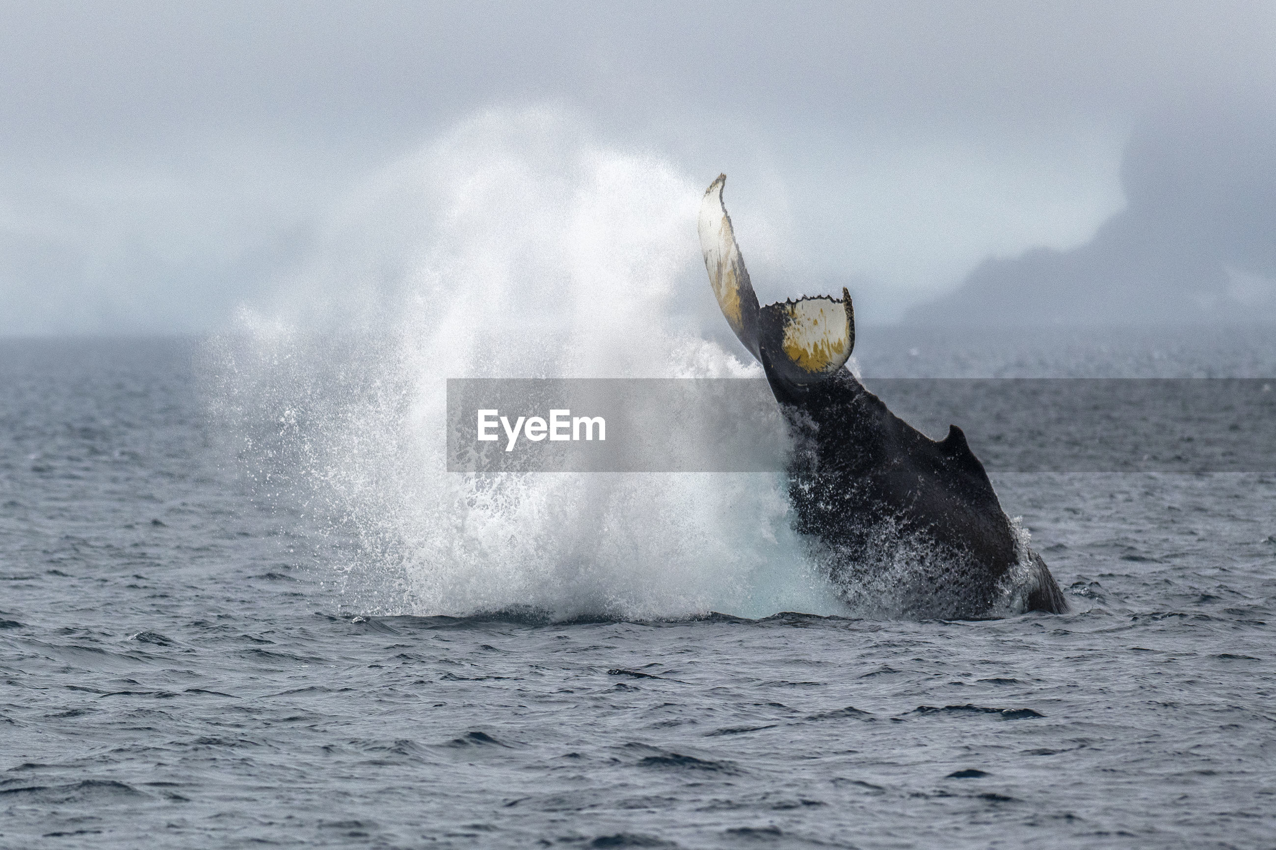 Humpback whale breaching the surface, palmer archipelago, off the coast of the antarctic peninsula.