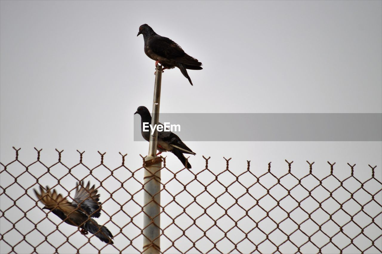 bird, vertebrate, animal themes, animal, animals in the wild, sky, animal wildlife, group of animals, perching, fence, barrier, boundary, two animals, clear sky, no people, security, metal, nature, protection, safety, outdoors