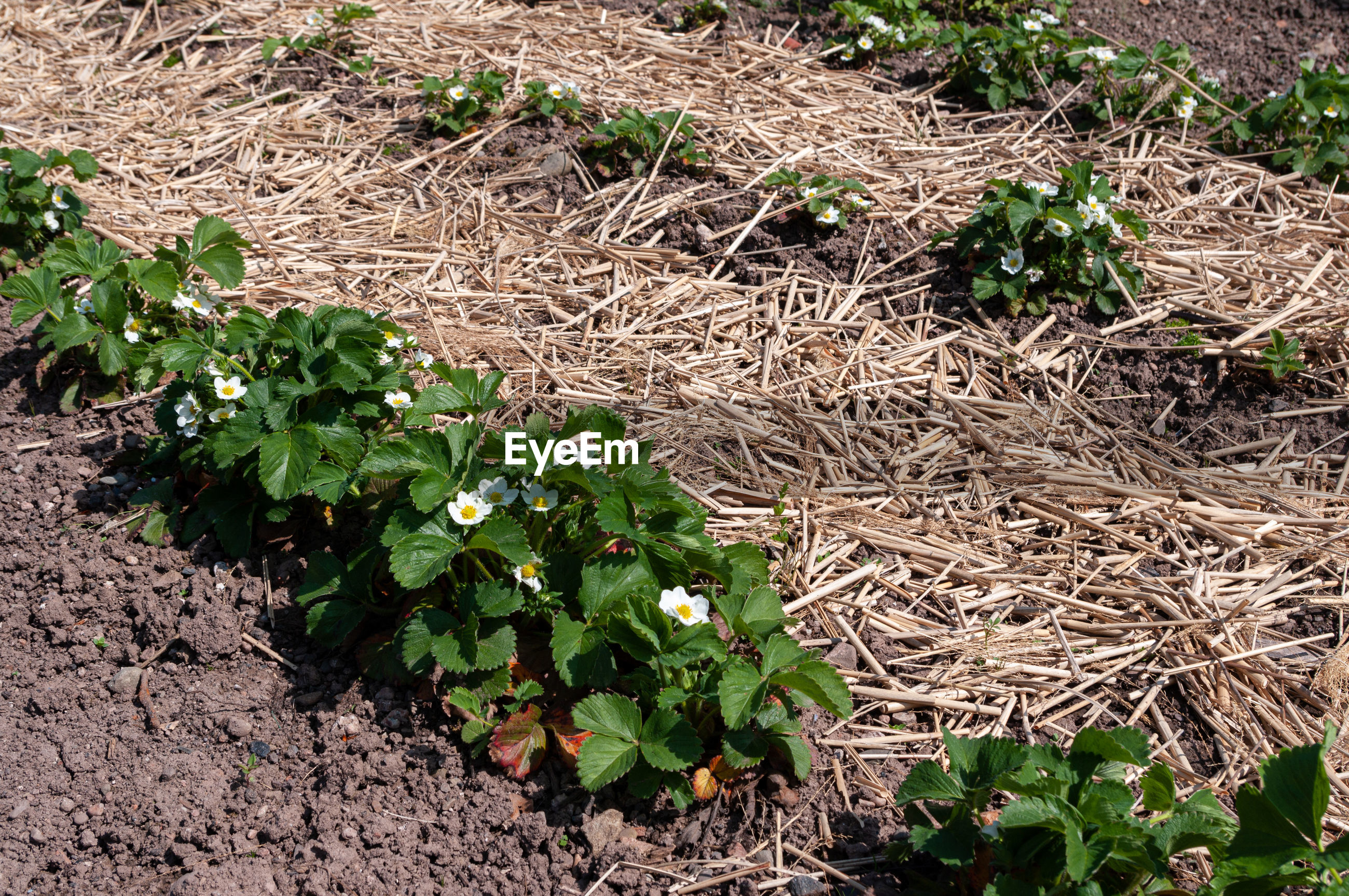 Strawberries growing in lines in garden bed with straw mulch