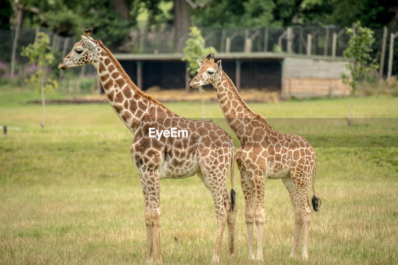 Giraffes standing on field