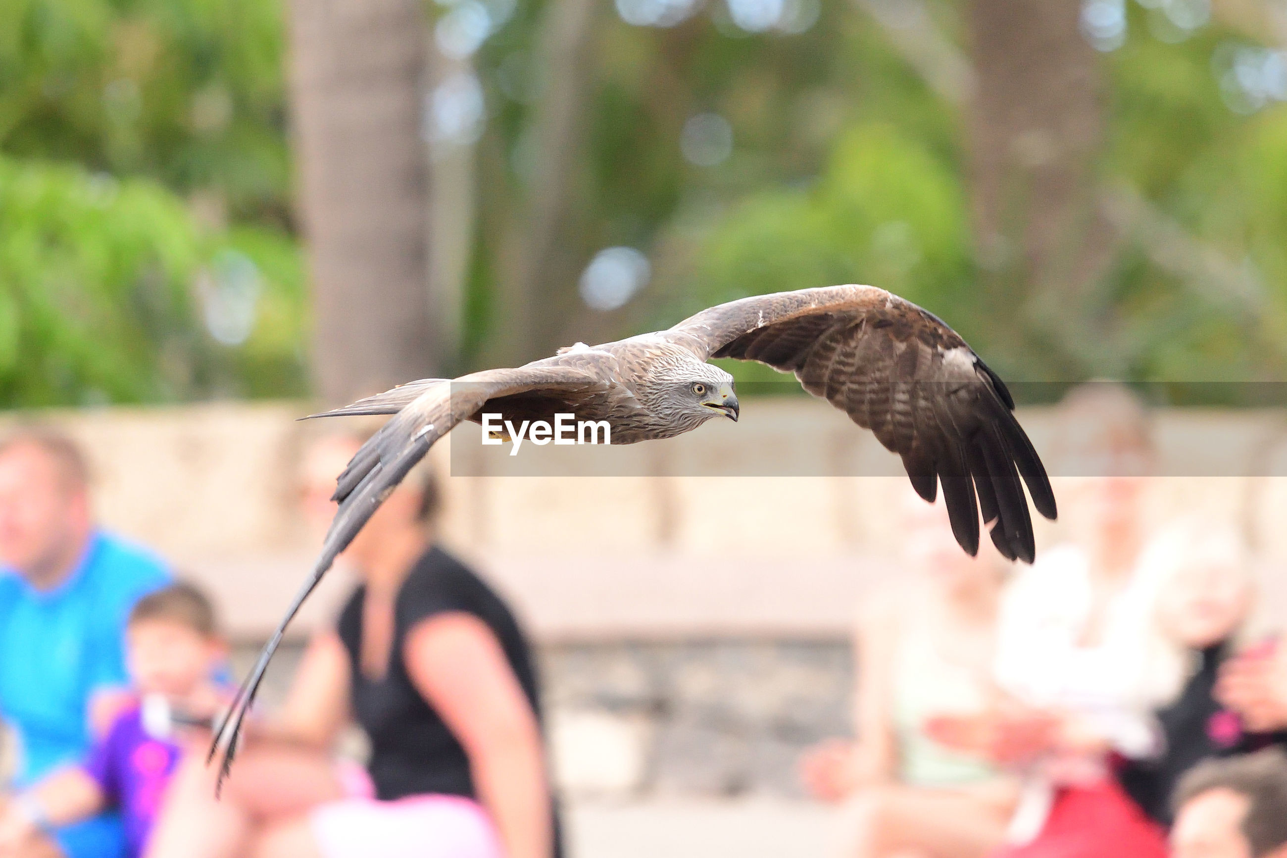 Black kite flying in a falconry demonstration