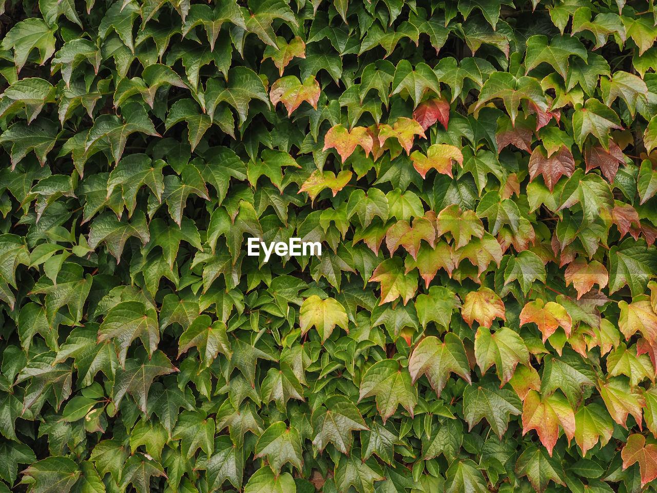 Full Frame Shot Of Leaves Growing On Plant