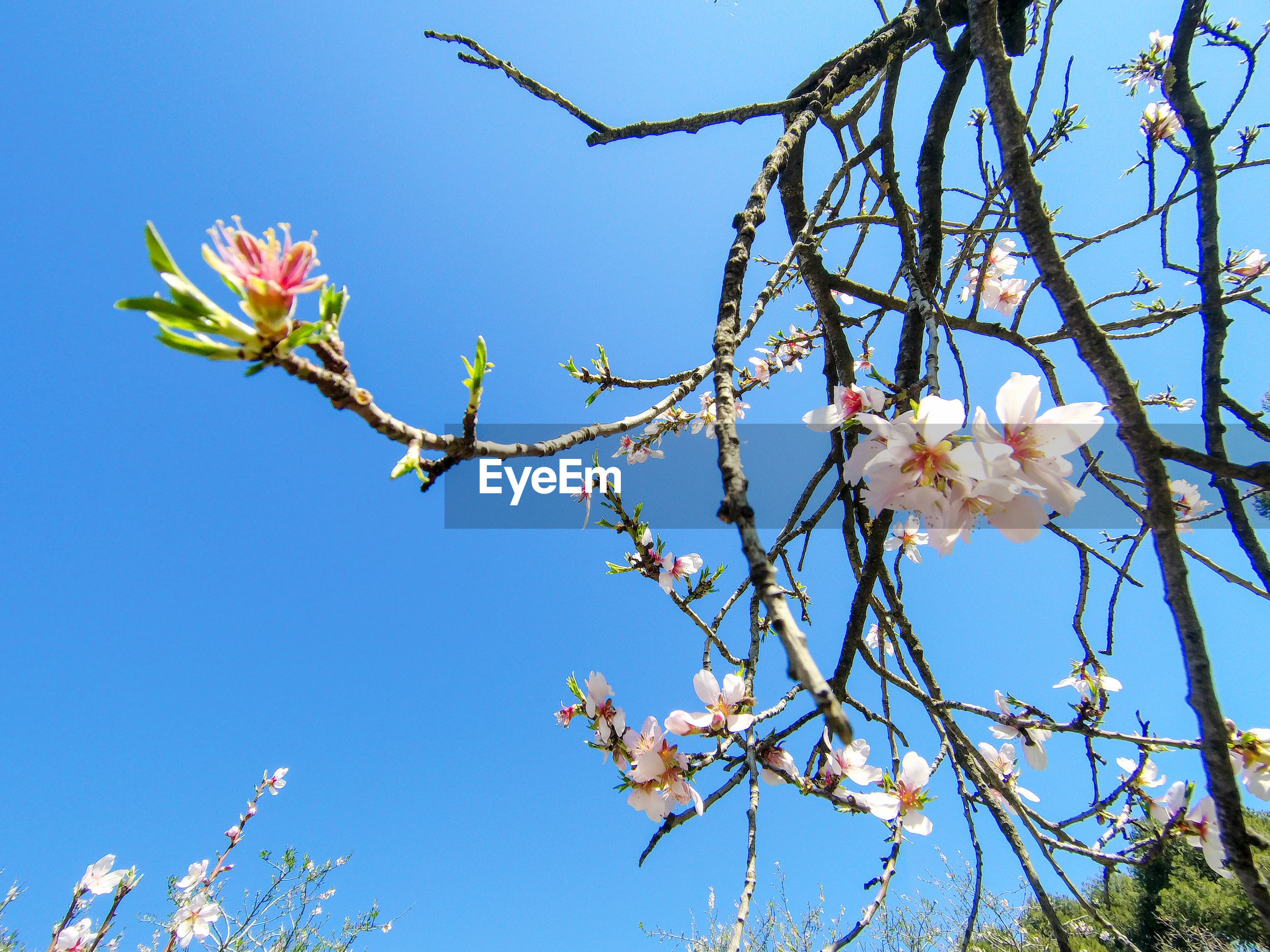 LOW ANGLE VIEW OF CHERRY BLOSSOMS AGAINST CLEAR BLUE SKY