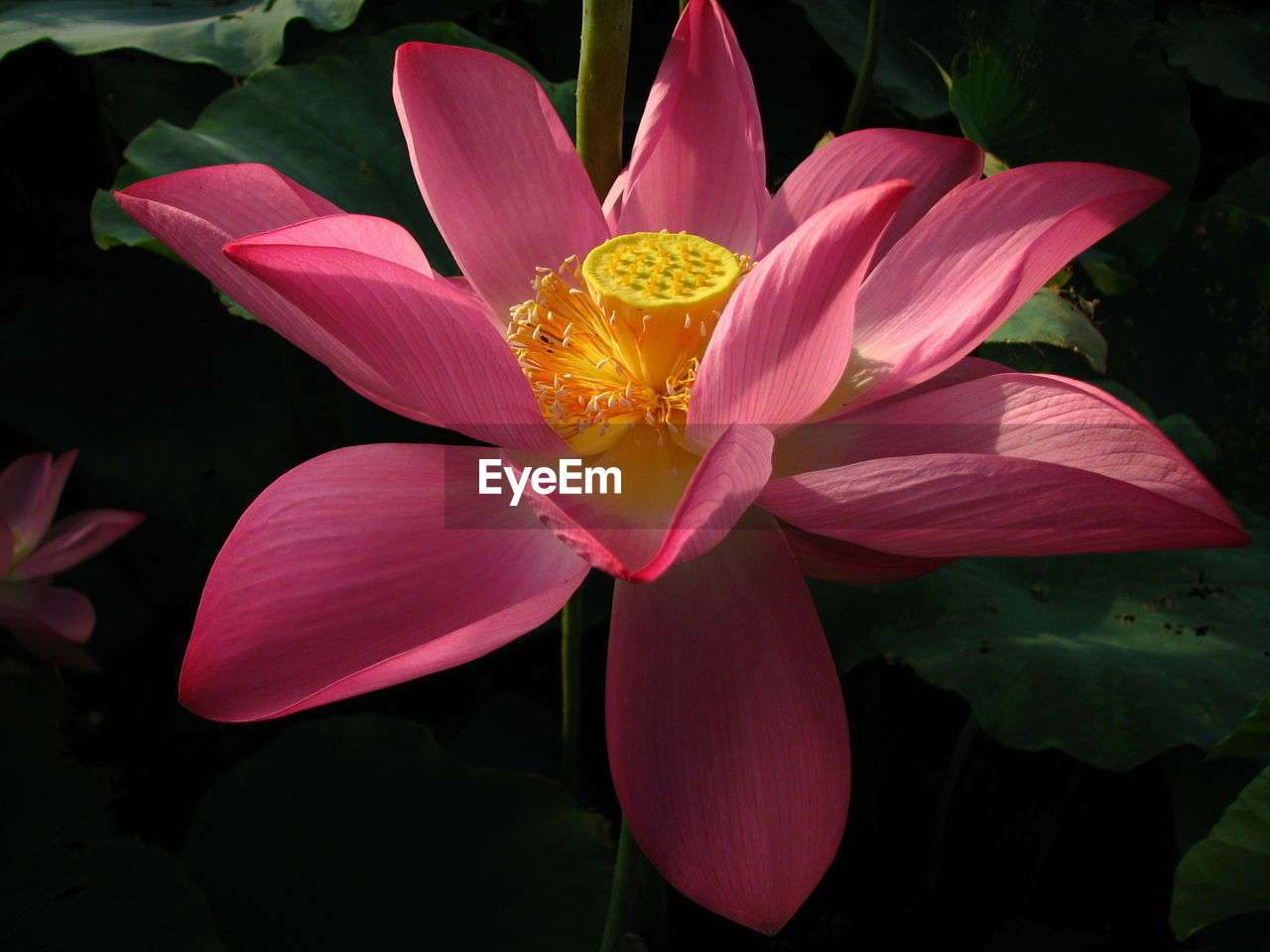 flower, petal, beauty in nature, nature, flower head, freshness, fragility, growth, no people, outdoors, day, blooming, close-up, lotus water lily