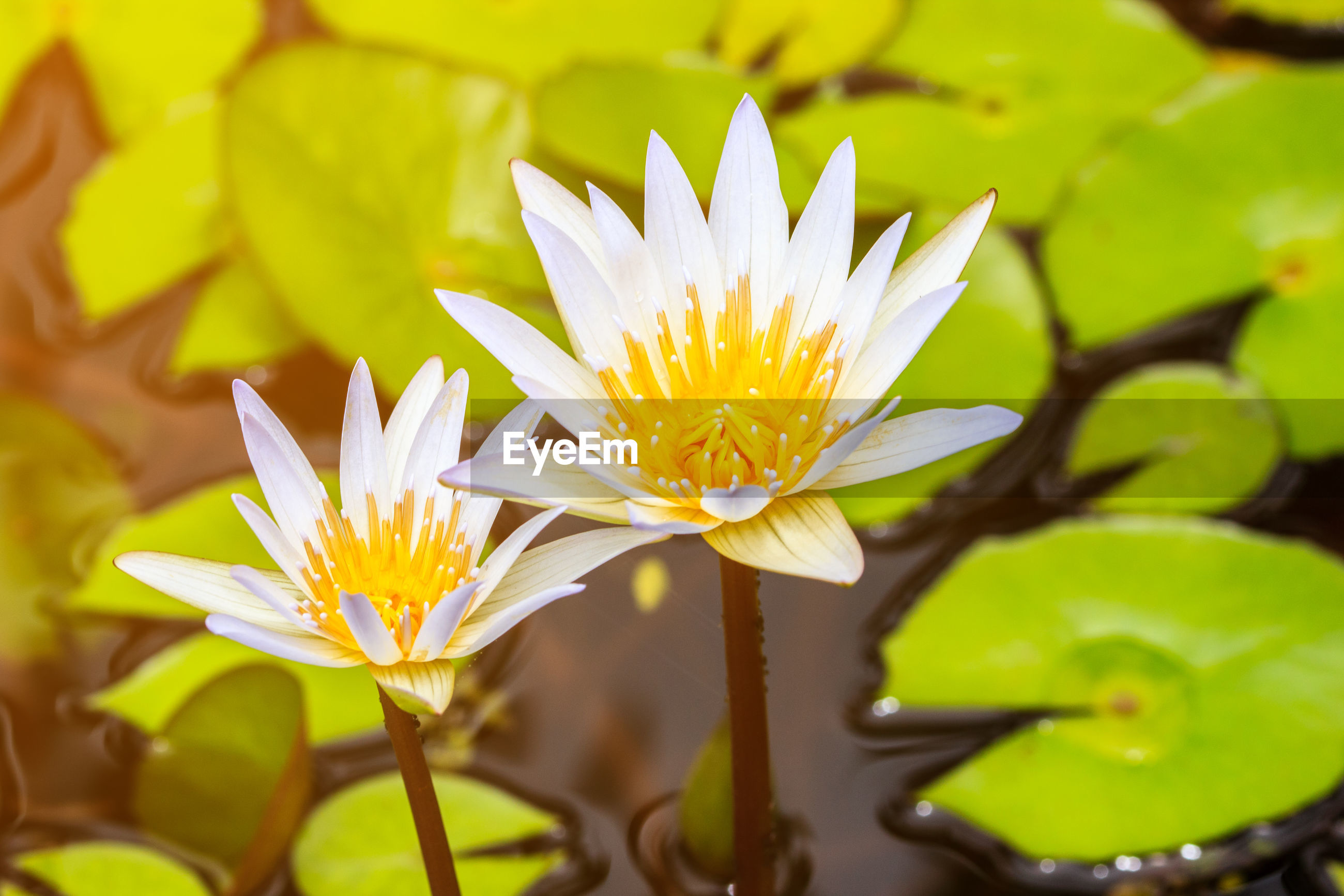 CLOSE-UP OF WATER LILY BLOOMING IN GARDEN