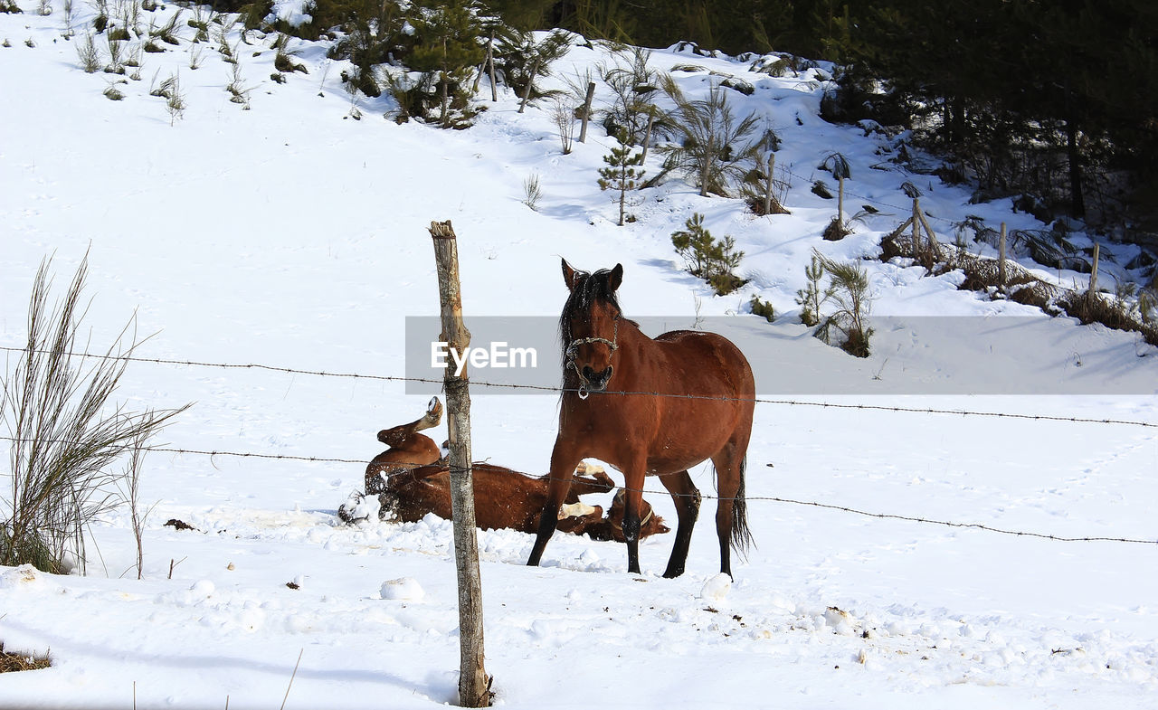snow, winter, cold temperature, mammal, domestic animals, domestic, animal themes, pets, animal, field, vertebrate, covering, horse, land, one animal, animal wildlife, livestock, nature, herbivorous, no people, outdoors, snowcapped mountain