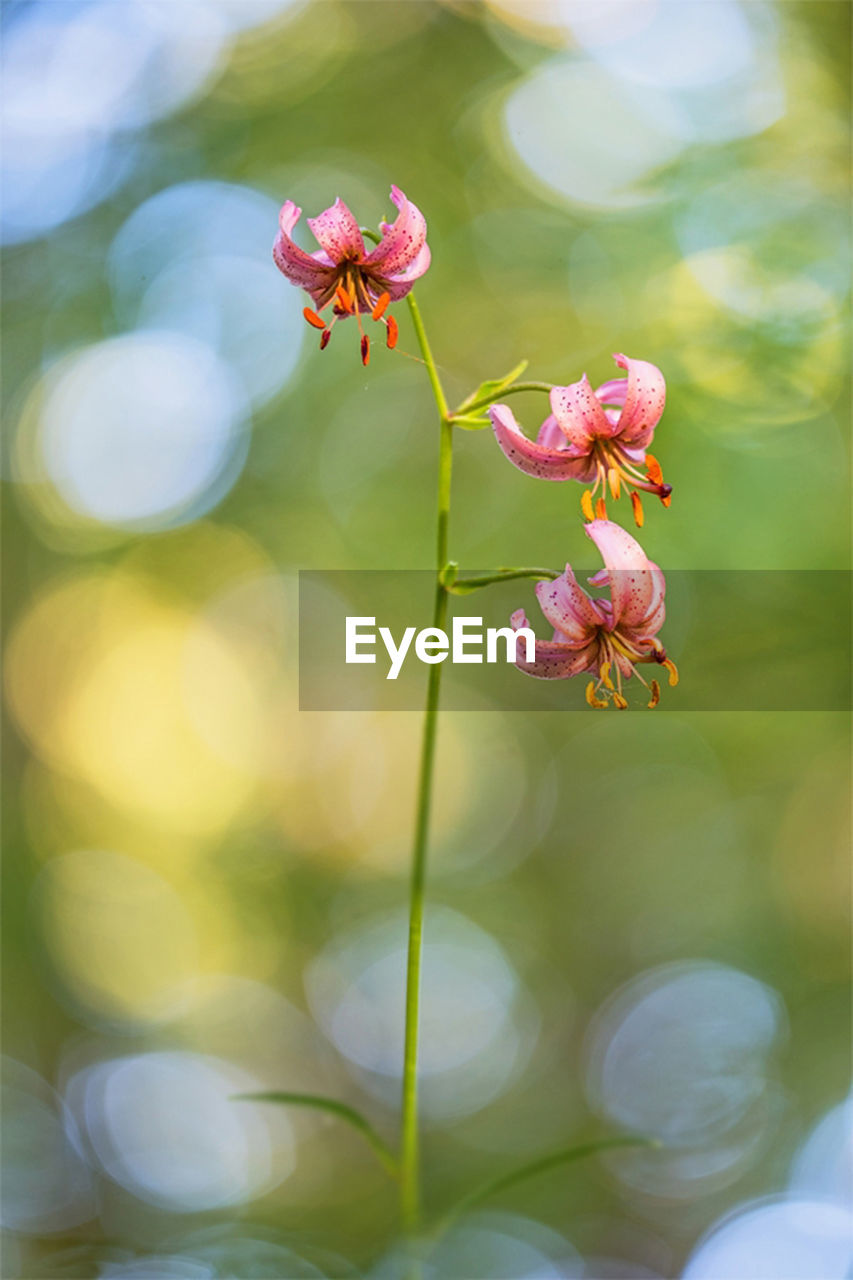 flower, plant, flowering plant, vulnerability, fragility, growth, freshness, beauty in nature, petal, close-up, focus on foreground, flower head, pink color, inflorescence, no people, nature, day, outdoors, selective focus, plant stem