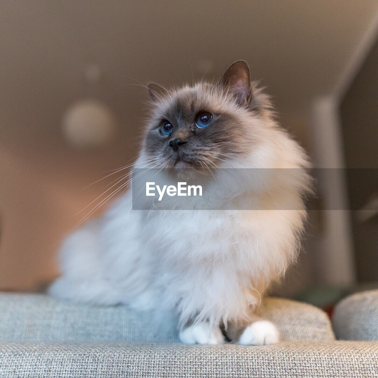 domestic cat, pets, domestic animals, animal themes, feline, one animal, whisker, mammal, indoors, portrait, sitting, looking at camera, no people, close-up, day, persian cat, kitten, siamese cat