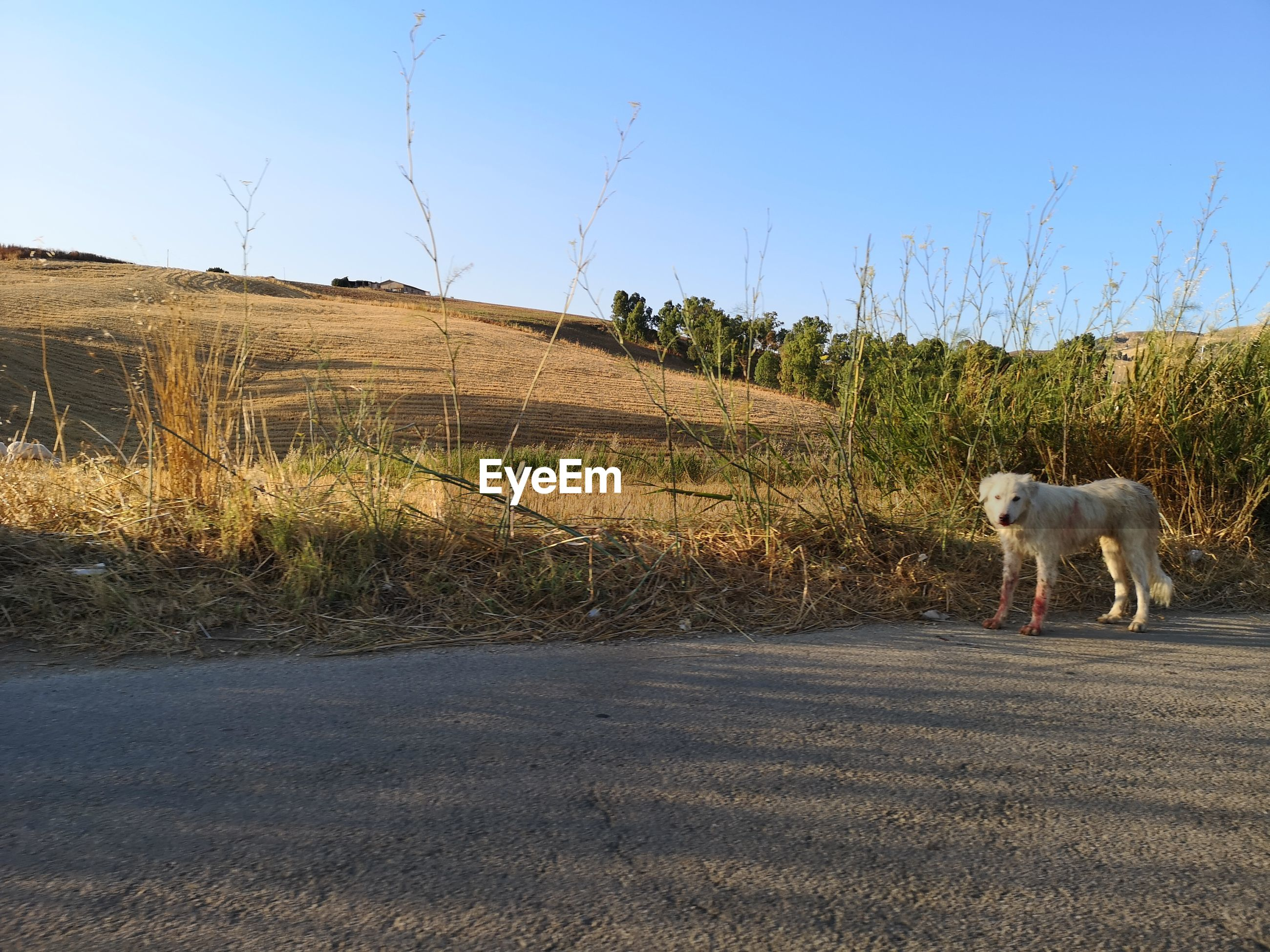 DOG STANDING ON ROAD AMIDST FIELD